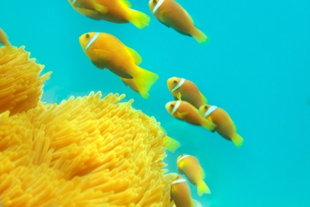 clown fish amphiprion: Shoal of clownfishes swimming between anemones