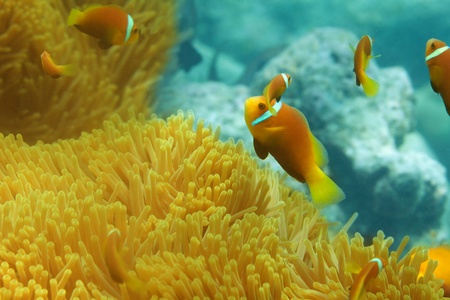 clown fish: Sea anemones and  clownfish shoal
