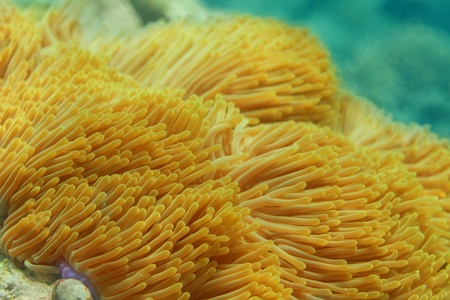 amphiprion ocellaris: Close-up of Sea anemone - underwater shoot Stock Photo