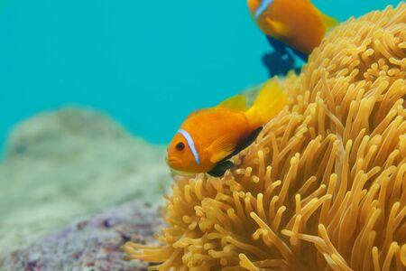 ocellaris clownfish: couple clownfishes swimming around anemones tentacles Stock Photo