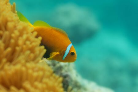 amphiprion ocellaris: Close-up of one clownfish in anemones with corals on background