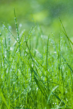 spring green grass close-up  with lots of dew drops photo