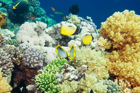 Tropical fishes swimming among beautiful colorful soft and hard corals Stock Photo - 13948667