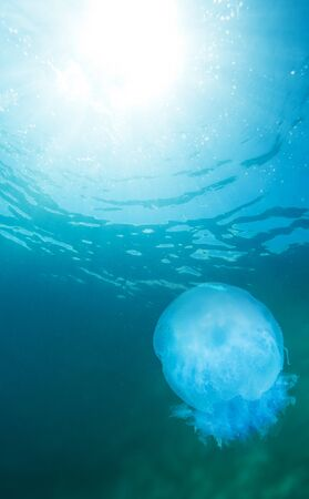 oceanography: Close-up of jellyfish and water surface with sunlight coming through