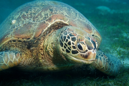 large turtle: Close up of big sea turtle on the weed bottom