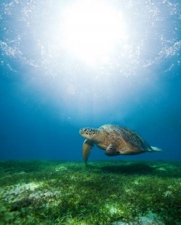 large turtle: Huge turtle swimming underwater above seaweed bottom