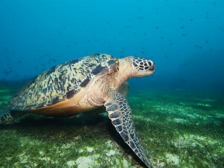 large turtle: Turtle deep underwater on seaweed bottom Stock Photo