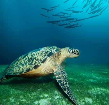 Huge sea turtle on the seaweed bottom with school of barracudas Stock Photo - 15672966