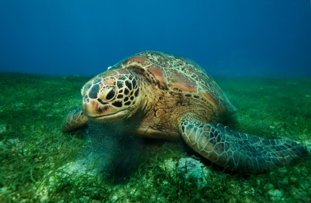 Close up of a big sea turtle eating seaweed underwater photo