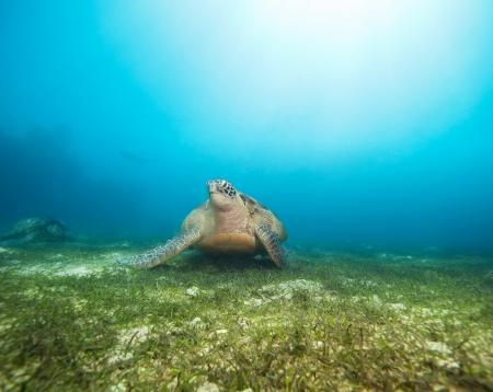 large turtle: Huge beautiful sea turtle on the seaweed bottom looking at camera