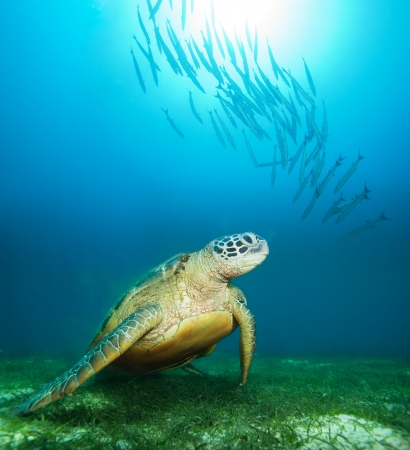 Sea turtle deep underwater with barracudas and sunlight water Stockfoto