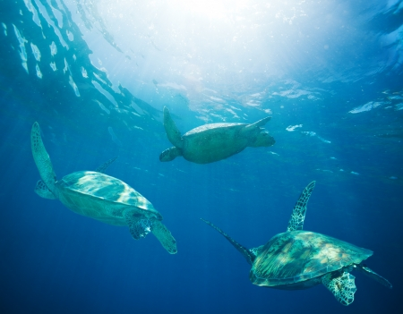 migrations: school of sea turtles migrating, swimming