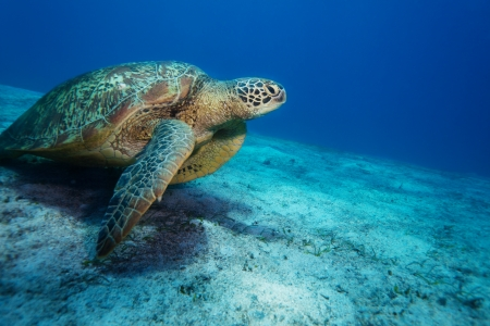 Huge sea turtle on sandy bottom deep in the ocean
