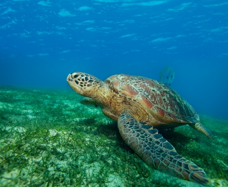 bottom of sea: big sea turtle on the seaweed bottom on Philippines Stock Photo