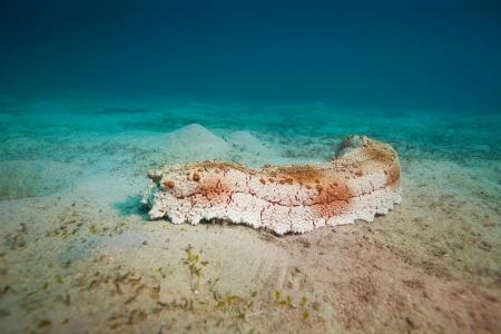 immobile: pepino de mar en el sur del Mar de la China Foto de archivo