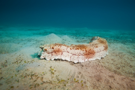 sea cucumber in south china sea photo