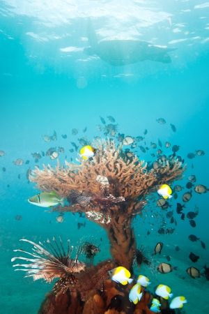 Beautiful standalone coral with many fishes including lion fish and turtle on the background. photo