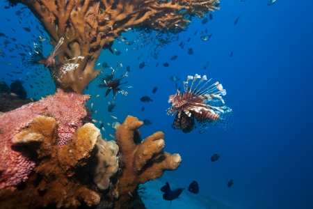 dangerous reef: wonders of sealife - big lionfish and giant sea cucmber under the coral tree Stock Photo