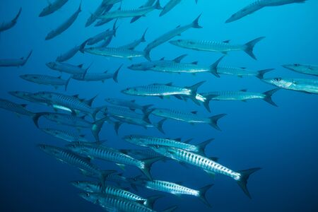 school of barracudas in deep water about 30 meters Stock Photo - 15672978