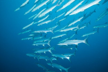 school of barracudas in the ocean - stunning site Stock Photo - 15673117