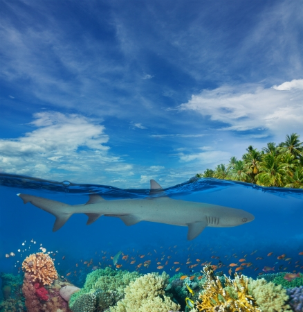 dangerous reef: Half underwater image with shark, corals, and palms on the island