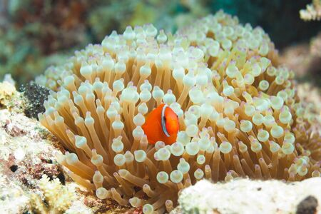 reef inhabitant clownfish hiding in anemones photo