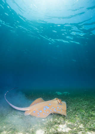 spotted ray: Blue spotted stingray on  deep sandy bottom Stock Photo