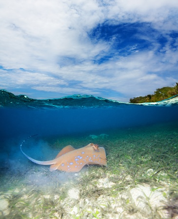Blue spotted stingray - disparar bajo el agua media photo