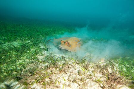 spotted ray: fast moving stingray on the seaweed bottom