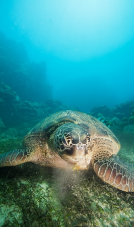 sea turtle eating seaweed on the ocean bottom photo