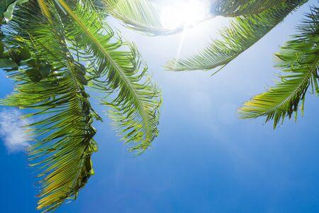shining through: hot sun shining through green palm tree leaves Stock Photo