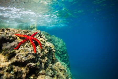 adriatic sea: beautiful spotted red starfish on rock in shallow water