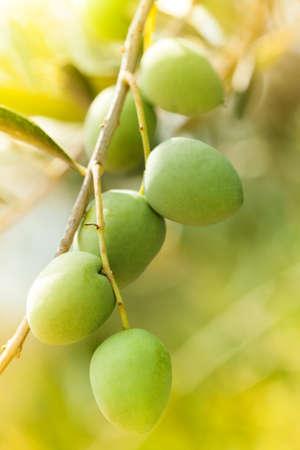 olivo arbol: maduro manojo de aceitunas verdes
