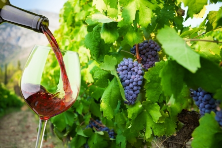 grapes on vine: Filling the glass with red wine from the bottle with vineyard with grapes on background