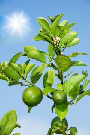 lemon tree: Branch with growing lemons in hot summer day