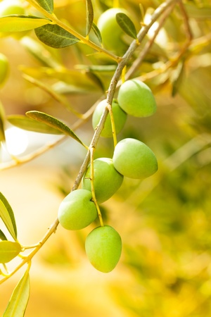Close-up of ripe green olives on the tree branch on sunny trees on background
