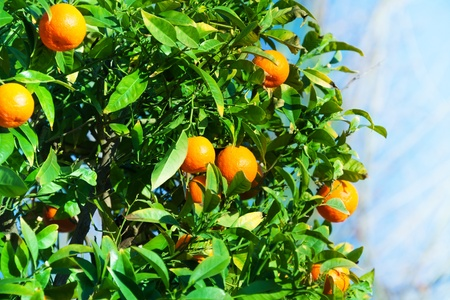 Many orange ripe tangerines on the bush photo