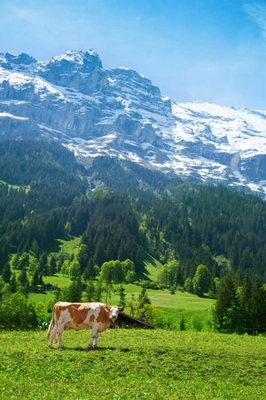 Beautiful Switzerland cow with snow cup mountain on background photo