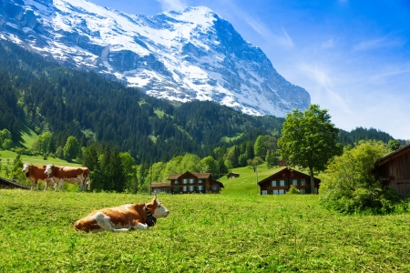 Beautiful Switzerland cows with snow cup mountain on background photo