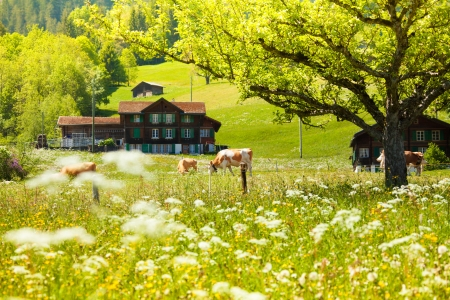 Country side field with tree, cows and house in Switzerland