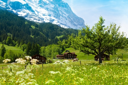 Alps mountains and fields with cows, houses and wild flowers photo