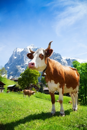 closeup cow face: Close shoot of cow standing in the mountain pasture in Switzerland Stock Photo