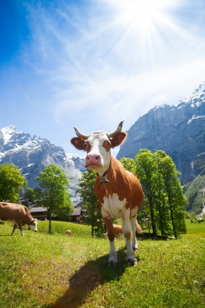 closeup cow face: Cute cow standing in the pasture in Switzerland with mountains and snow caps on background