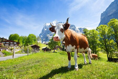 cute cow: Cute cow standing in the pasture in Switzerland with mountains and snow caps on background