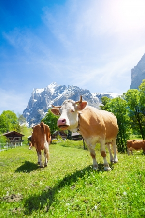 Two cows on a pasture in Switzerland with mountains and blue sky on background photo