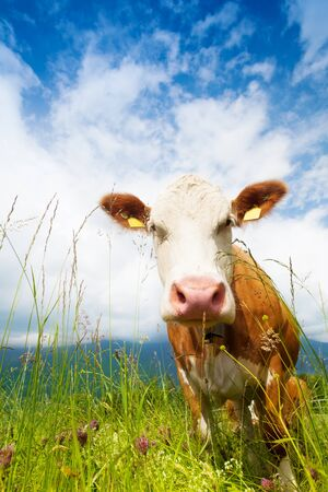 Closeup of muzzle of a cow standing on a pasture photo