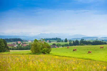 Many beautiful cows on the green summer field in Germany, with mountains on the background photo