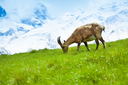 One Chamois grazing on the mountain pasture at the foot of Mont Blanc photo