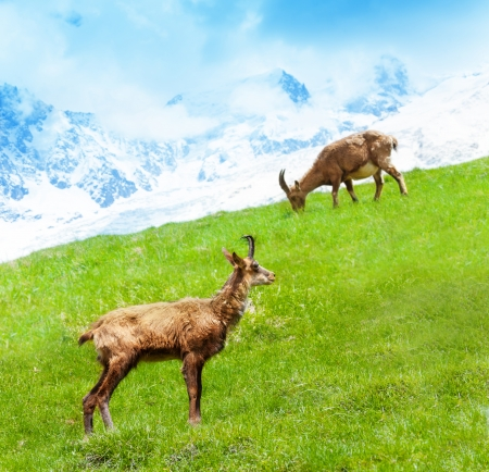 Two alpine ibex grazing on the mountain pasture at the foot of Mont Blanc photo