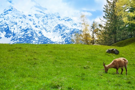 One Chamois grazing on a green alpine meadow in Chamonix photo